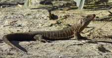 Giant Plated Lizard Stock Images