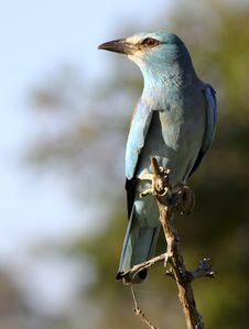 EUROPEAN ROLLER Stock Photos