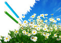 Free White Daisies Stock Photography - 18636612