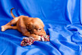 Free Saluki Pup And Toy Stock Photo - 18639640