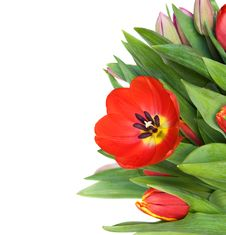Free Tulips Royalty Free Stock Images - 18630769