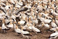 Free Cape Gannets Birds Stock Photo - 18631980