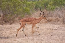 Free Impala Antelope Royalty Free Stock Photos - 18632598
