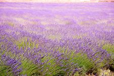 Free Lavender Fields Stock Images - 18632794