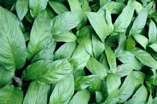 Free Green Leaf Background Royalty Free Stock Images - 18633119