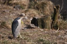 Free Night Heron Stock Image - 18635701