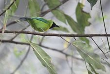 Free Blue-winged Leafbird Royalty Free Stock Images - 18635899