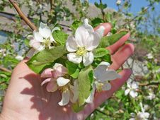 Sprig Of Apple Blossom Royalty Free Stock Photo