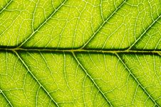 Free Green Leaf Royalty Free Stock Photos - 18636248