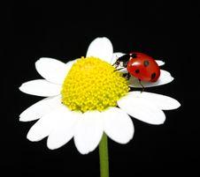 Free Ladybug Stock Image - 18636601