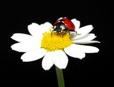 Free Ladybug Stock Images - 18636604