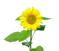 Free Sunflower Royalty Free Stock Photo - 18636615