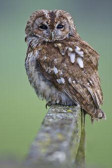 Free Tawny Owl Stock Photos - 18637063
