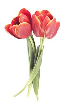 Free Red Tulip Stock Photography - 18637532