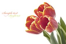 Free Red Tulip Stock Images - 18637534