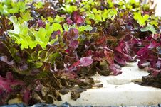Free Hydroponic Vegetable Stock Photo - 18639060