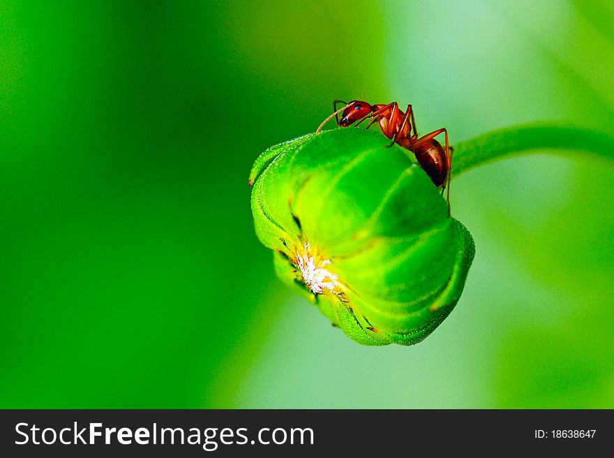 Red Ant On Sunflower Bud