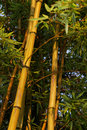 Free Bamboo Forest Royalty Free Stock Image - 18647186