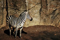 Free Zebra Waiting.. Royalty Free Stock Photo - 18648445