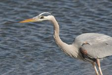 Free Great Blue Heron Stock Image - 18641681