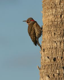 Free Northern Flicker Stock Images - 18641694