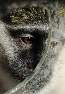 Monkey Behind The Glass Royalty Free Stock Images