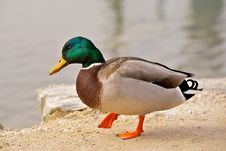 A Duck (drake) Royalty Free Stock Image