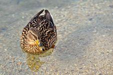 Free A Duck Stock Photos - 18645883