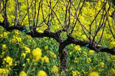 Free Grapevine And Yellow Mustard Field Stock Photos - 18646273