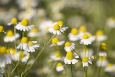 Free White And Yellow Daisies Royalty Free Stock Image - 18646866