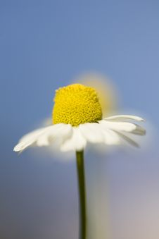 Free White And Yellow Daisies Royalty Free Stock Image - 18646876