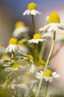Free White And Yellow Daisies Stock Images - 18646884