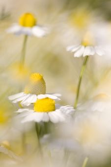 Free White And Yellow Daisies Royalty Free Stock Photography - 18646937