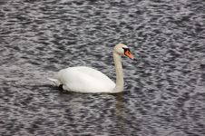 Free River Swan Royalty Free Stock Photos - 18647078