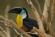Chestnut Mandibled Toucan Or Swainson�s Toucan Royalty Free Stock Photography