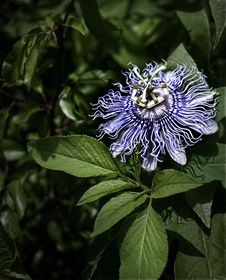 Free Passion Flower Royalty Free Stock Photography - 18648197