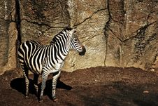 Free Zebra Waiting.. Royalty Free Stock Photo - 18648445