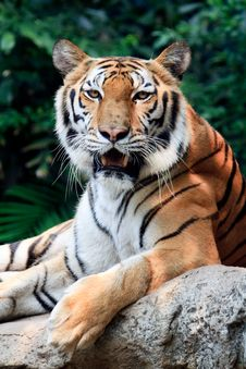 Free Bengal Tiger Starring At The Camera Stock Images - 18648584