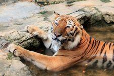 Free Bengal Tiger Take A Bath Look Cute Royalty Free Stock Photos - 18648588
