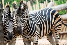 Free Two Zebra Starring At The Camera Stock Photography - 18648612