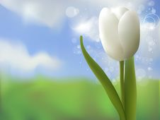 Free White Tulip Stock Images - 18650504