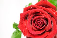 Free Red Rose Stock Photography - 18657352
