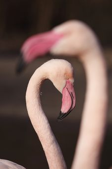Free Flamingo Stock Photos - 18657353