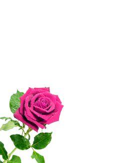 Free Pink Rose Stock Photos - 18657483