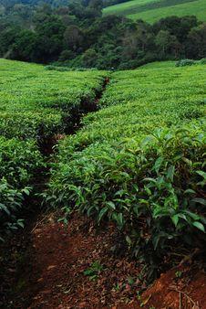 Free Tea Plantation Stock Photography - 18657742