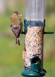 Greenfinch (Carduelis Chloris) Stock Photos
