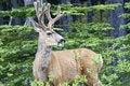 Free Smiling Deer Stock Photos - 18666623