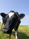 Free Closeup Of A Black And White Cow Stock Images - 18668474