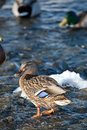 Free Grey Duck In River Winter Sunny Day Stock Photo - 18669400