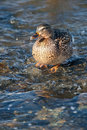 Free Grey Duck In River Winter Sunny Day Stock Photos - 18669423